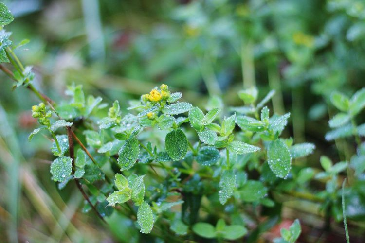 Thaw Tau Wateronleaves Flower Leaf Plant Part Close-up Plant Green Color Wildflower Flower Head In Bloom Blooming Plant Life