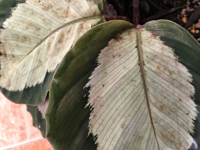 Leaf Outdoors No People Day Nature Close-up Growth Plant Beauty In Nature Tree Freshness Calathea Textured  EyeEmNewHere The Week On EyeEm