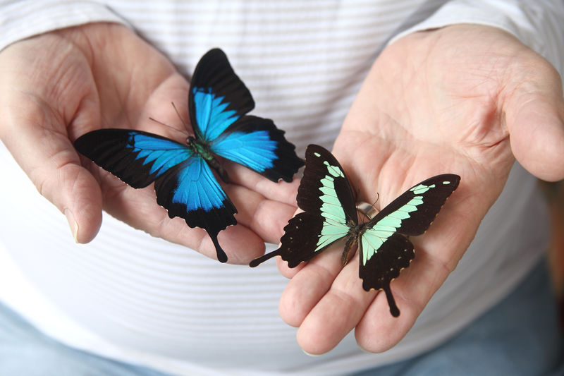 Two exotic swallowtail butterflies on a man's hands Animals Beauty In Nature Black Blue Butterflies Close-up Colorful Day Exotic Fingers Hands Holding Indoors  Insects  Lepidoptera Light Green Man Natural Light Nature Swallowtails Unrecognizable Person Wings