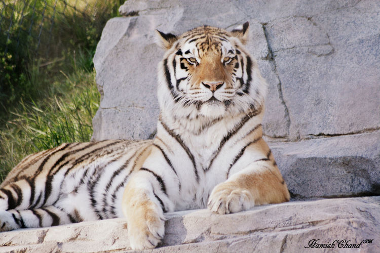 Portrait Of Tiger Sitting On Rock