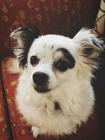Looking At Camera Pets Dog Domestic Animals Portrait Animal Themes One Animal Close-up Indoors