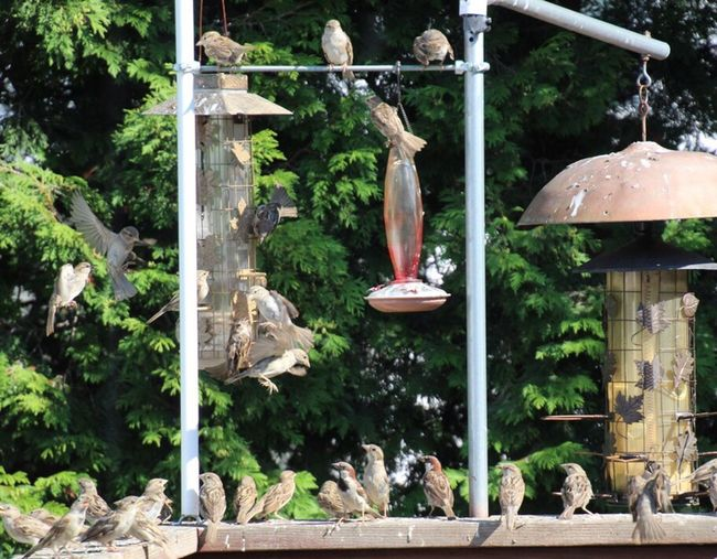 Birds, Birds And More Birds! In My Backyard In Feeders, Outdoors Trees And Deck Railing, All Lined Up Waiting Their Turn!