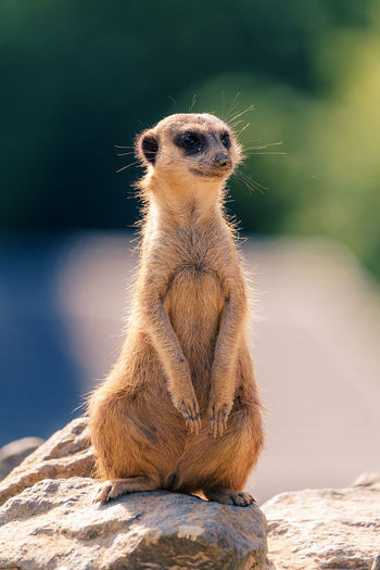 Meerkat sitting on rock