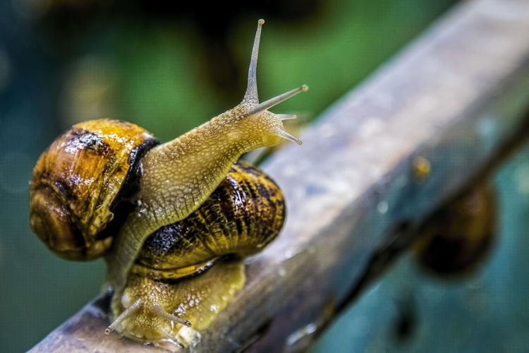Helix Aspersa Maxima Snail African Snails Animal Head  Animal Themes Close-up Crawling Crawling Snail Gastropod Molluscs Mollusk Nature No People Selective Focus Snail Snails