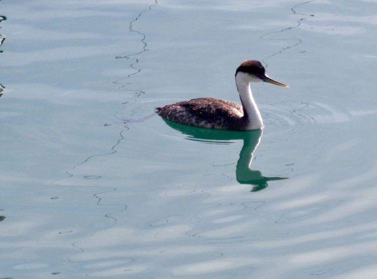 Grebe floating in ocean water at Dana Point harbor in California Seabird Ocean California Dana Point Harbor One Animal Animal Themes Animals In The Wild Bird Water Animal Wildlife Reflection Day Waterfront Swimming Nature Water Bird Outdoors No People Beak Beauty In Nature