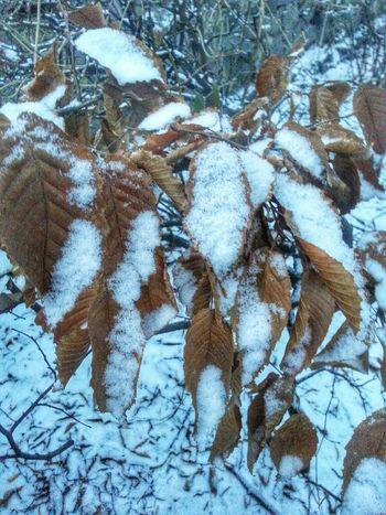 Fresh snowfall on the leaves. Zhytomyr Ukraine Fresh Snowfall Житомир Україна
