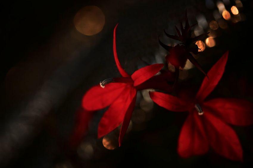 Shine Black Background Red Red Flower EyeEm Best Shots EyeEm Nature Lover EyeEm Gallery EyeEmBestPics EyeEm Best Shots - Nature Nature Nature_collection Nature Photography Naturelovers Flower Collection Flower Photography 暗がりクラブ Eyeem4photography Flower Head Flower Red Petal Close-up Plant Flowering Plant Botanical Garden Plant Part Blossom In Bloom Plant Life Botany
