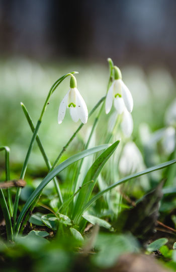 Beauty In Nature Close-up Day Flower Flower Head Fragility Freshness Green Color Growth Nature No People Outdoors Petal Plant Pure Snowdrop White Color