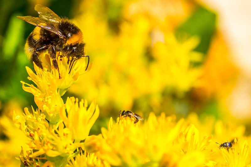 close-up in yellow Fly Animal Themes Animal Wildlife Animals In The Wild Beauty In Nature Bee Bumblebee Buzzing Day Flower Flower Head Fragility Growth Honey Bee Insect Nature No People Outdoors Petal Plant Pollination Selective Focus Symbiotic Relationship Wildlife Yellow