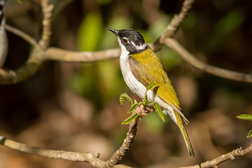 White-Throated Honeyeater Animal Wildlife One Animal Animals In The Wild Perching Bird Animal Animal Themes Nature Branch No People Full Length Outdoors Beauty In Nature Close-up Day EyeEm Best Shots Eye4photography  Eyeemphotography Beauty In Nature Nature Wildlife Enjoying Life
