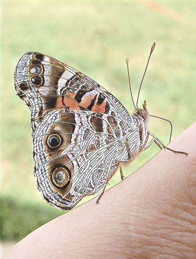 NC butterfly Butterfly North Carolina Butterfly