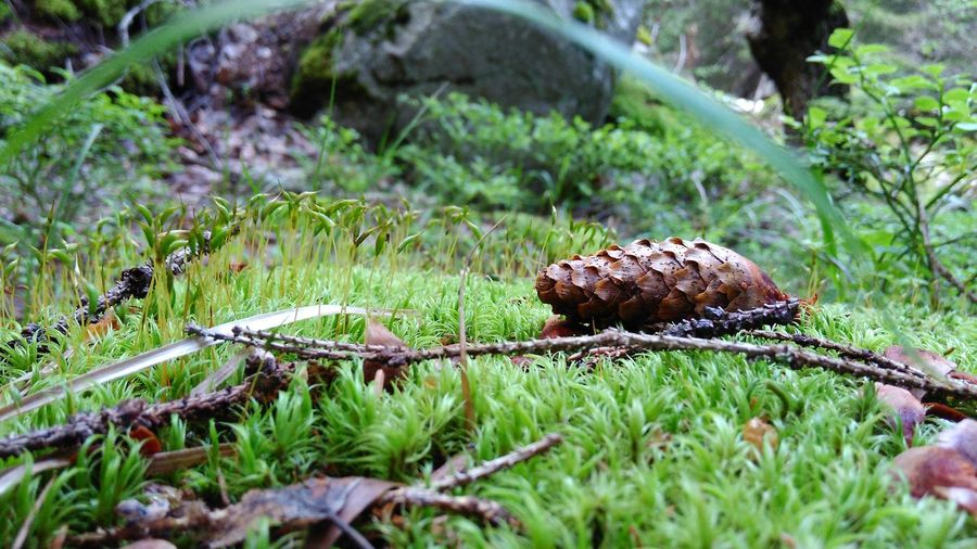 Close-up Fallen Pinecone Fallen Pinecones Focus On Foreground Forest Grass Grassy Green Green Color Growth High Resolution Moss Natural Pattern Nature Pine Tree Pinecone Pinecone On Grass Pinecone On Grass Pinecone On The Grass Pinecones Twigs Vitosha Mountain WallpaperForMobile Wallpapers Wllpapers