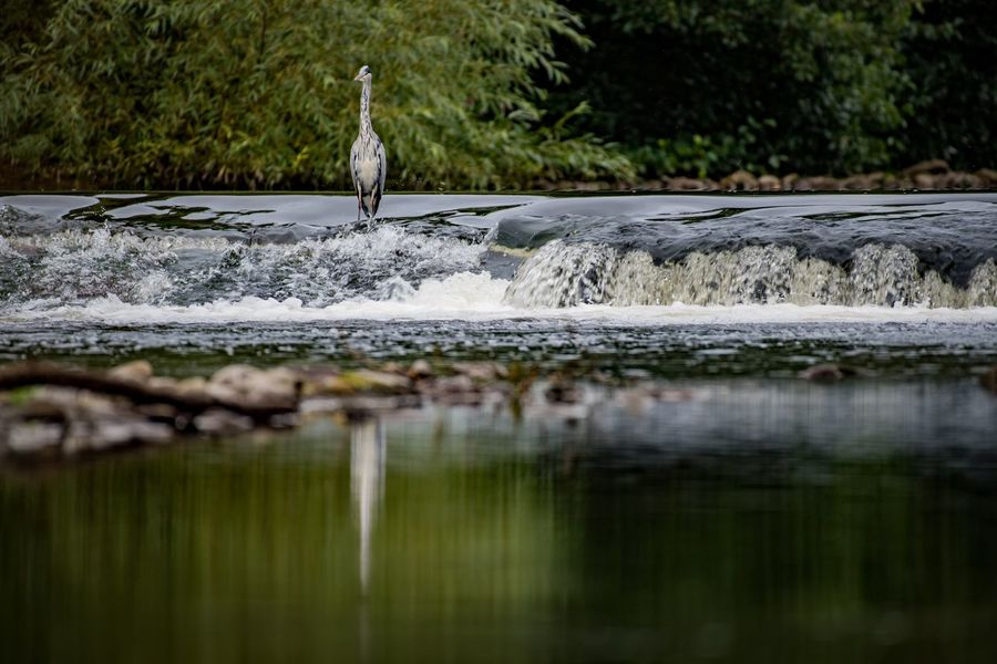 The hunter Waterfall Heron Nature Nikon Nature_collection EyeEmBestPics Water Reflections Eye4photography  Water_collection EyeEm Best Shots Nikonphotography Water Bird Vertebrate Animal Themes Animals In The Wild Animal Animal Wildlife Plant Selective Focus Reflection Beauty In Nature
