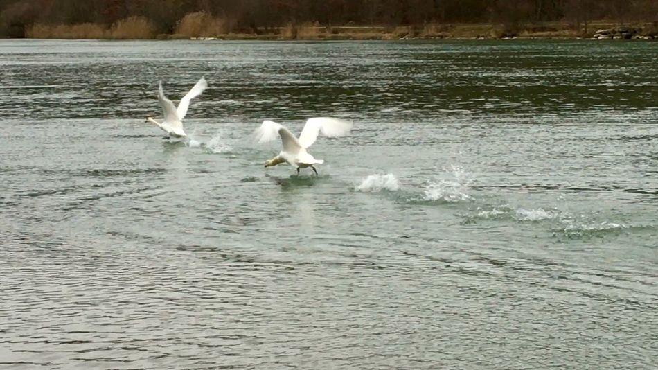 Schwanenfamilie Schwäne Schwan  Swantastic Swans Swan