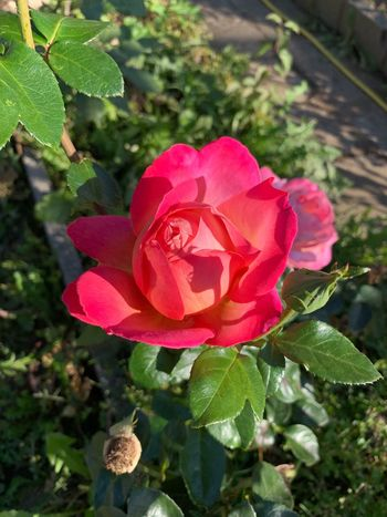 Plant Flower Flowering Plant Beauty In Nature Rosé Vulnerability  Petal