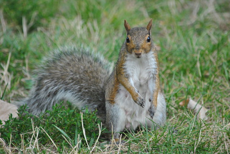 Portrait of squirrel on field