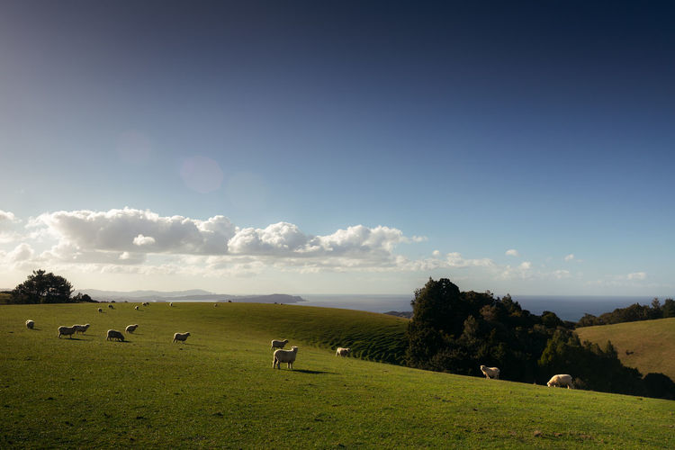 View of sheep grazing on field against sky