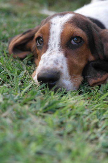 Puppy cuteness Animal Themes Basset Hound Close-up Day Dog Domestic Animals Grass Looking At Camera Mammal Nature No People One Animal Outdoors Pets Portrait Selective Focus Pet Portraits