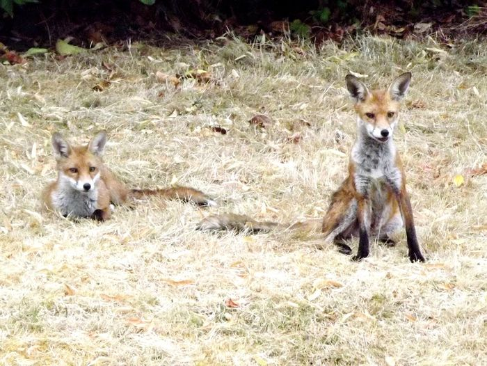 Walking Around Urban Fox Fox🐺 Foxes Portrait Looking At Camera Young Animal Field Standing Fox Two Animals