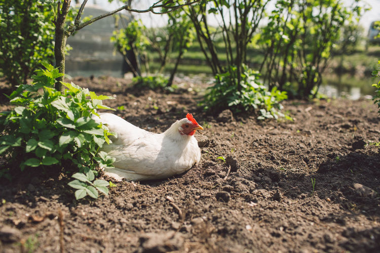 Animal Animal Themes Bird Chicken Chicken - Bird Day Domestic Domestic Animals Field Hen Land Livestock Mammal Nature No People One Animal Outdoors Pets Plant Poultry Selective Focus Vertebrate