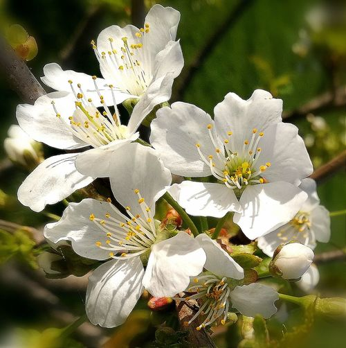 Plum Plumtree Plumblossom Garden Springtime Spring White Flower Flower Close-up Blooming Plant Blossoming  Flora