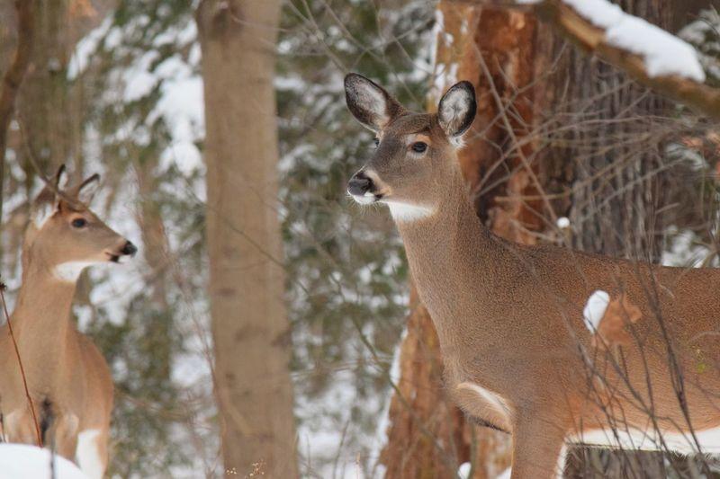 Nikon Deer