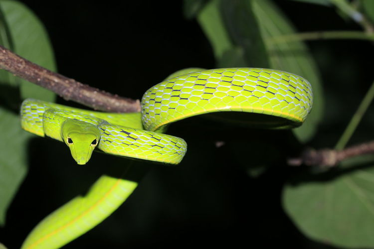 Green snake4 Reptile Reptiles Reptile Photography Snake Snakes Green Color Green Green Snake Tree Full Length Black Background Insect Leaf Macro Close-up Green Color