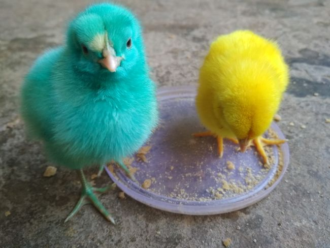 Two babies... Close-up Baby Chicken Young Bird