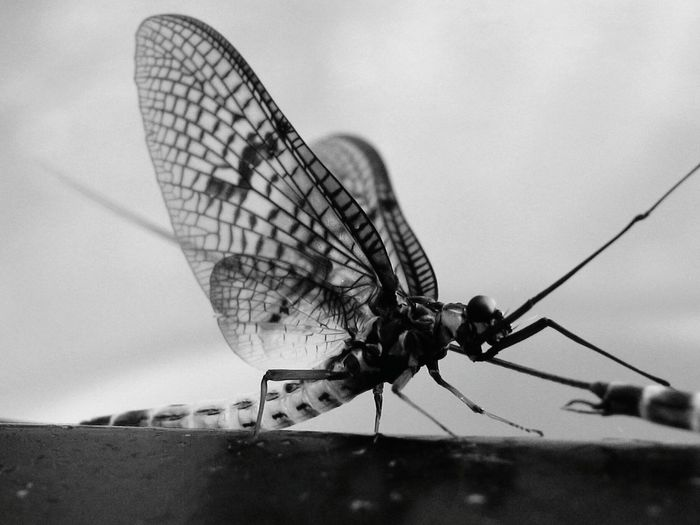 Mayfly Blackandwhite Black And White Insect Animal Wing Animal Themes No People Animals In The Wild Animal Wildlife Nature Full Length Outdoors Day Close-up Perching Amazing Close Up Insects  Insects  Beautiful Macro Beauty Fragility Macroshot Macro Beauty In Nature
