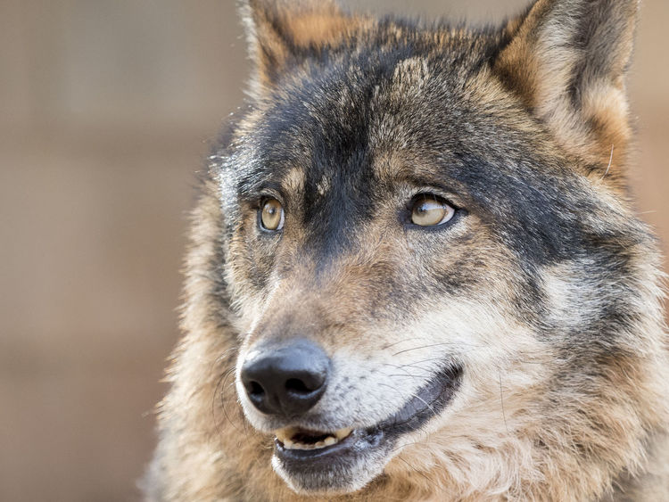 Iberian wolf portrait (Canis lupus signatus) Adult Animal Carnivorous Closeup In Nature Closeup Photography Endangered Species Eyes Face Fur Furry Green Hunter Iberian Looking Male Mammal Nature Portrait Predator SPAIN Watching Wild Wilderness Wildlife Wolf