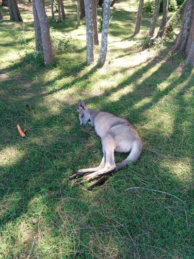 Animal Animal Themes Beauty In Nature Day Green Color Kangaroos Nature Outdoors