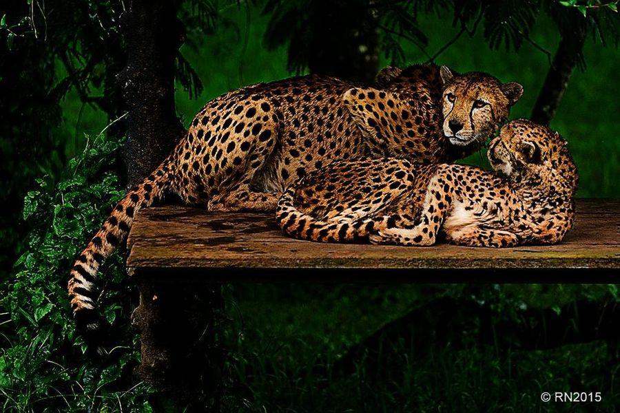 Cheetah Travel Photography Animals Nature Photography Photooftheday Nature Hello World Taking Photos Photography Animal Love Hello World
