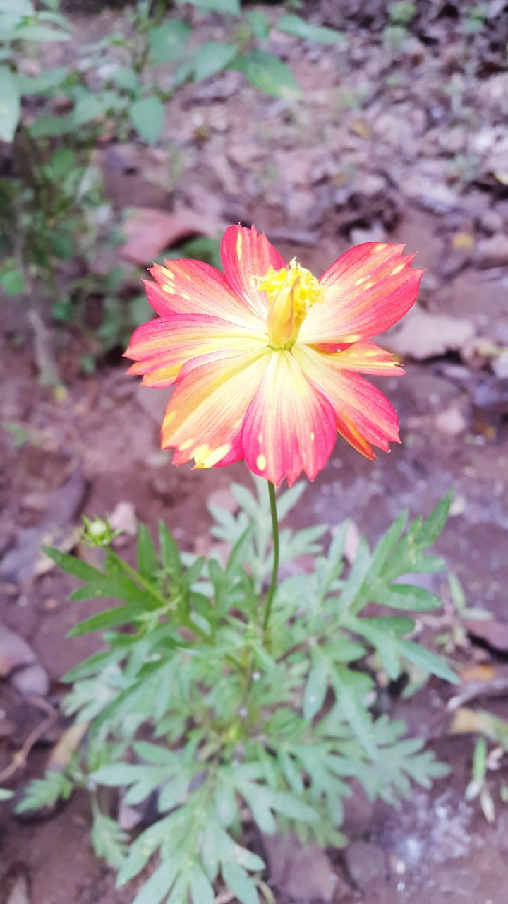 flower, petal, growth, flower head, nature, plant, blooming, fragility, beauty in nature, freshness, outdoors, no people, day, close-up