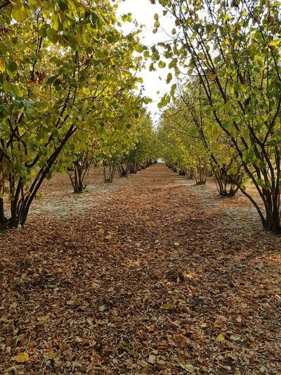 In Row Langhe Autumn Autumn Colors Autumn Leaves Nuts Corylus Nut Trees Tree Growth Nature Outdoors No People Day Beauty In Nature Branch Agriculture Plant