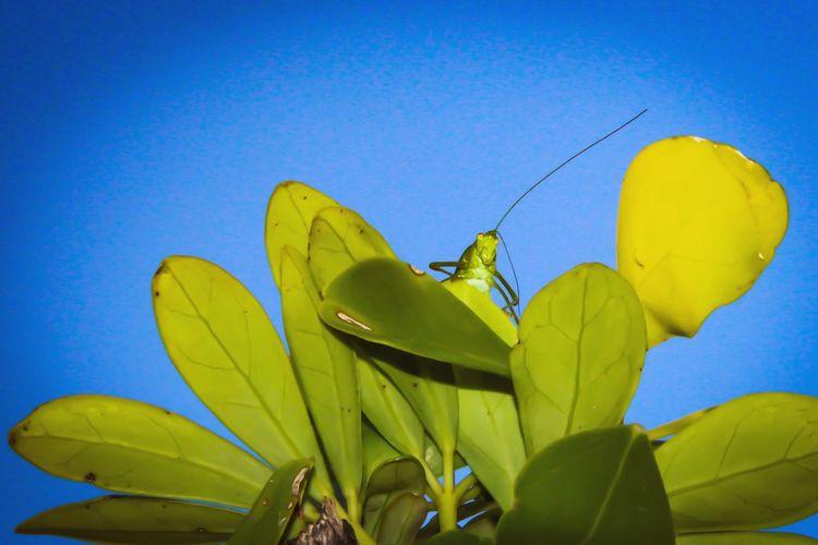 Grashopper Grashüpfer Nudeshoot Portrait Random Wildlife & Nature Urban Insects Urban Green Blue Snapshots Of Life