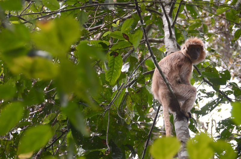 The Java Lutung Java Lutung Animal Animal Themes Animal Wildlife Animals In The Wild Branch Day Forest Green Color Leaf Low Angle View Mammal Monkey Nature No People One Animal Outdoors Plant Plant Part Primate Rainforest Tree Vertebrate