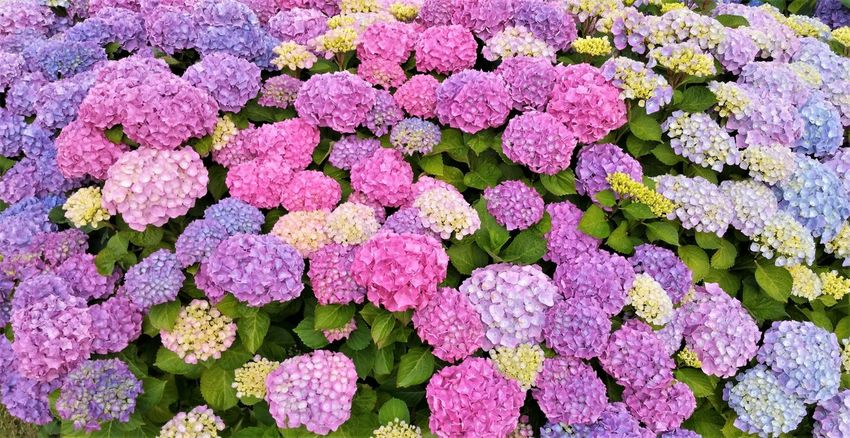 colour explosion by a hydrangea in Thuro harbour Colour Explosion Denmark Beauty In Nature Blue Close-up Day Flower Flower Head Fragility Freshness Full Frame Growth Hydrangea Nature No People Outdoors Pink Color Plant Purple