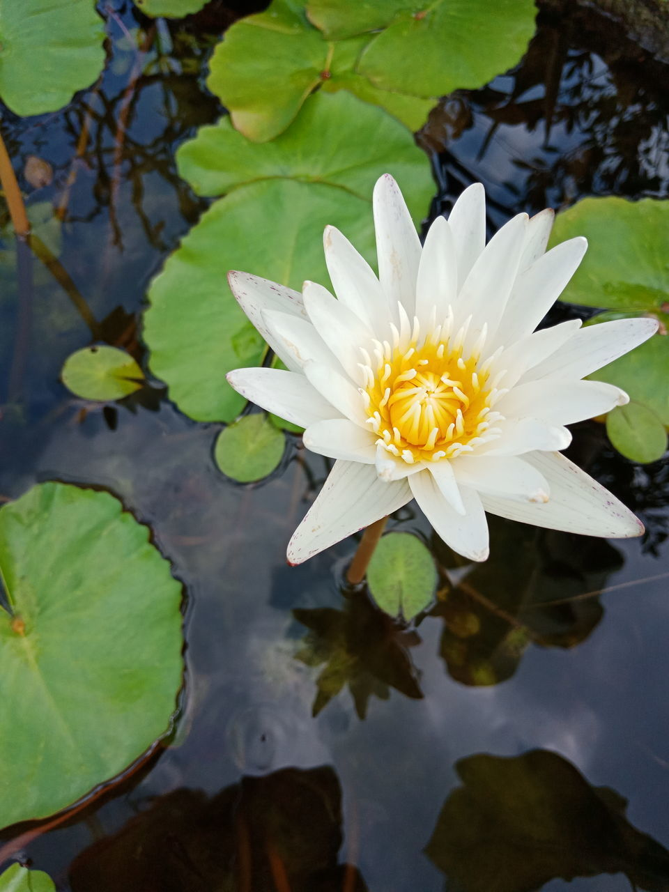 flower, plant, flowering plant, lake, leaf, water lily, beauty in nature, water, freshness, growth, plant part, fragility, vulnerability, petal, floating, floating on water, nature, flower head, lotus water lily, pollen, no people, outdoors