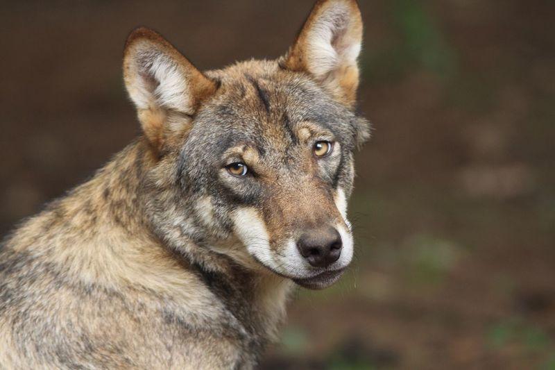 Wolf One Animal