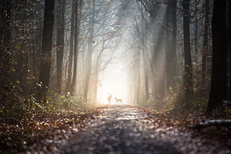 Deer on footpath in forest during autumn