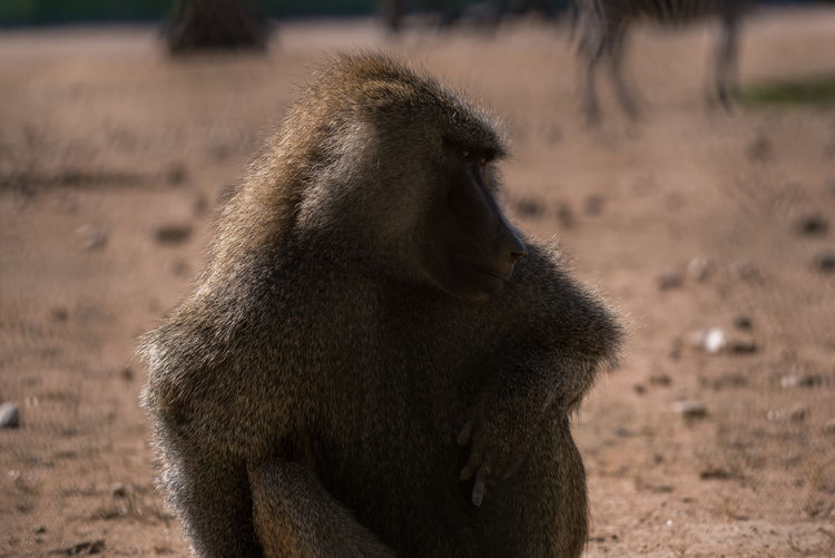 Close-up of monkey sitting on field