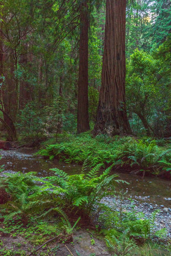 Redwoods Forest Tree Plant Land Tree Trunk Trunk Growth Nature WoodLand Tranquility Beauty In Nature Scenics - Nature No People Green Color Day Environment Lush Foliage Landscape Foliage Tranquil Scene Outdoors Rainforest