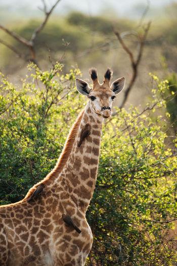 Portrait of giraffe standing on tree