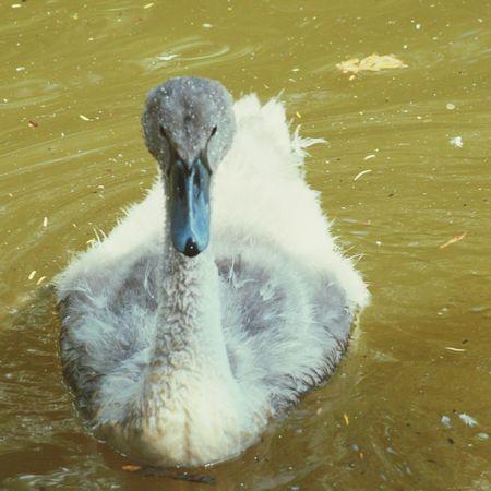 Baby swan on the lake birkenhead park First Eyeem Photo