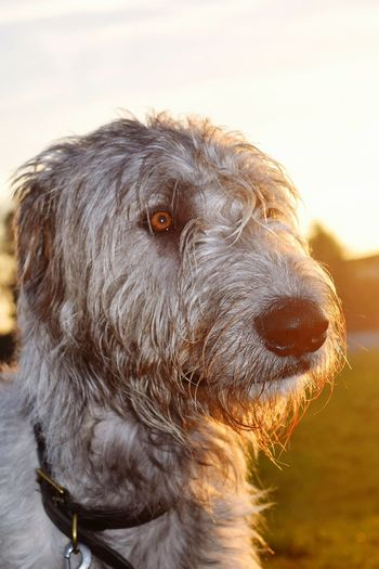 One Animal Domestic Animals Outdoors Sky Shadow And Light It Is Cold Outside December 2016 How's The Weather Today? Autumn 2016 Evening Light Bokeh Dogwalk Dog Of The Day Dogs Of Winter Dogs Of EyeEm Dogslife Irish Wolfhound Cearnaigh Portrait Sunlight Silhouette