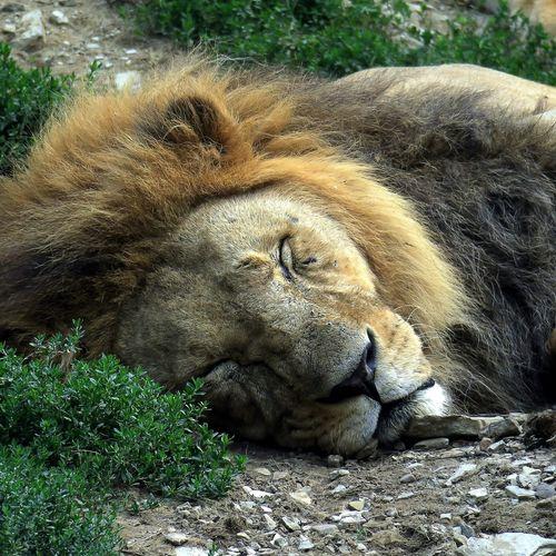 Zoo Zoo Animals  Animal Themes Animals Lion Safari Animals Lioness Lion Cub