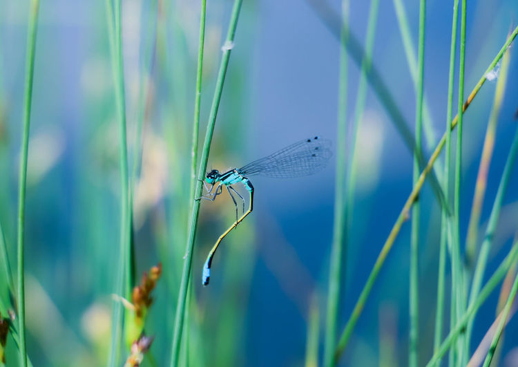 Dragonfly Dragonfly Eyeem Collection Dragonfly Collection Dragonflies Nature Photography Nature_collection Naturelovers Beauty In Nature Beautiful Nature Summertime Alone Blue Color Animal Themes Plant
