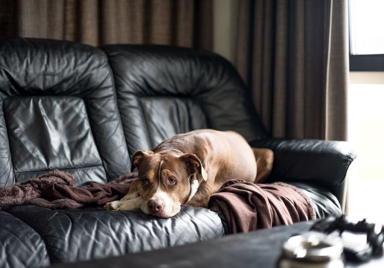 Buffel the dog Chilling Pitbull Pets Dog One Animal Canine Mammal Animal Themes Domestic Animals Furniture Domestic Animal Relaxation Sofa Indoors  Comfortable Sleeping Vertebrate No People Resting Domestic Room Home Interior
