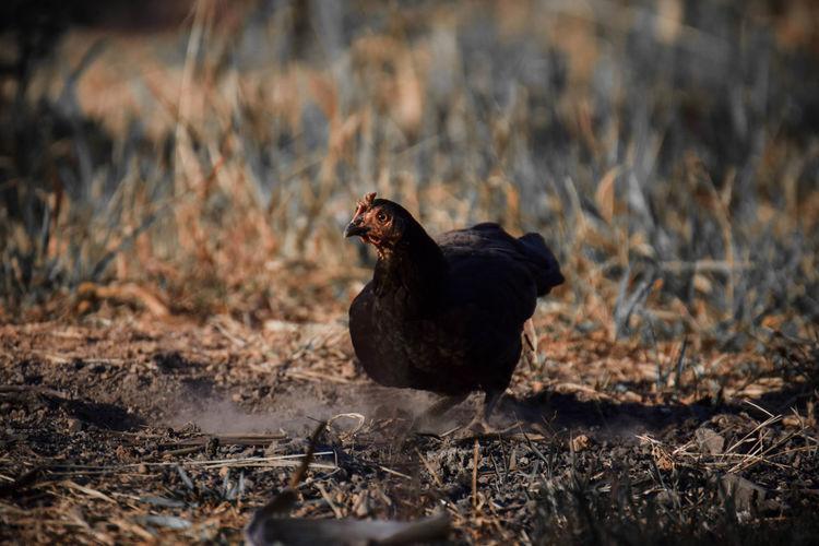 Black bird on a field