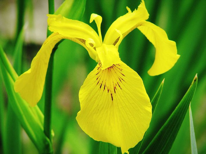 Flower Plant Nature Yellow Fragility Petal Close-up Leaf Beauty In Nature No People Freshness Outdoors Day Green Color Beauty Iris Flower EyeEm Nature Lover Nature_collection Flower Collection Blossom Summer Flowers Of EyeEm Flower Photography EyeEm Gallery Flowers, Nature And Beauty